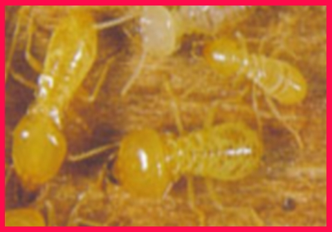 Schedorhinotermes Termite found throughout Australia