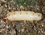 Queen Termite - grows to 10cm
